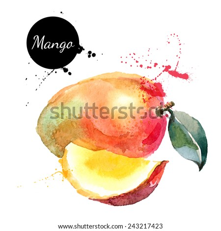 Hand drawn watercolor painting on white background. Vector illustration of fruit mango