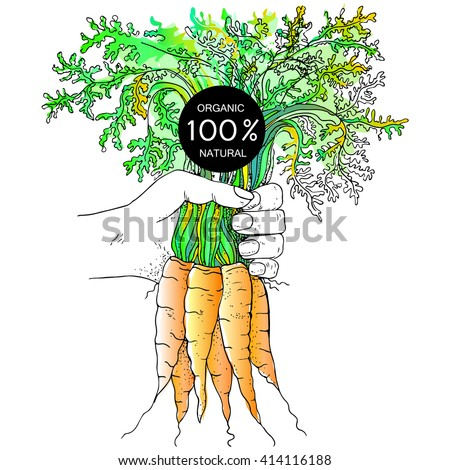 Hand holding carrots with green leaf . 100% organic - stock vector