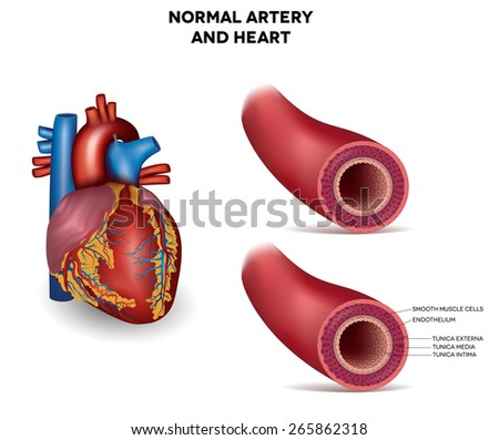 Healthy human elastic artery and heart, detailed illustration - stock vector