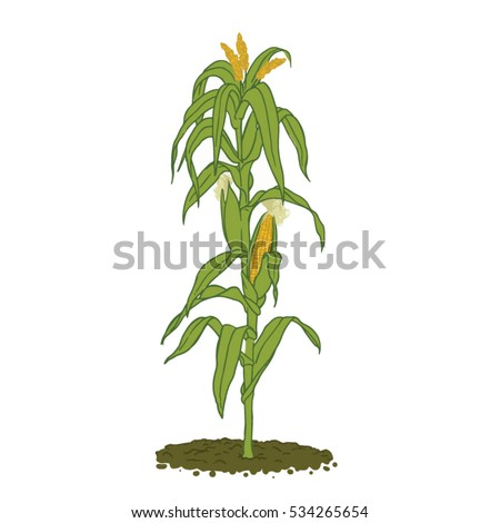 Healthy mature corn plant with plenty of leafs and cobs ready for harvest - zea mais, colored line drawing