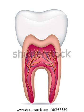 Healthy white tooth illustration, detailed anatomy. Isolated on a white background. - stock vector