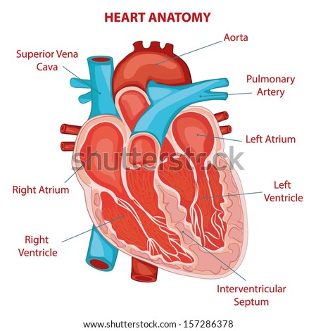 HEART ANATOMY cross section diagram - stock vector