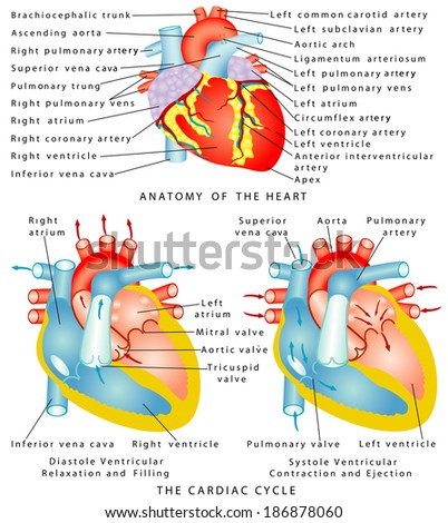Heart. Anatomy of the Heart. The Cardiac Cycle. Diastole Ventricular Relaxation and Filling. Systole Ventricular Contraction and Ejection - stock vector