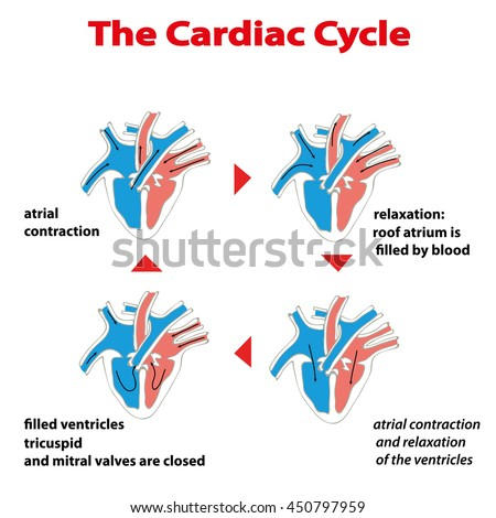 Heart Cycle Cardiac Cycle Heart On Stock Vector Hd Royalty Free