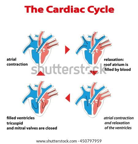Heart Cycle Cardiac Cycle Heart On Stock Vector Royalty Free