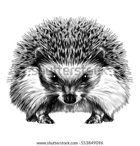 Hedgehog Sketch Vector Stock Vector 553849096 Shutterstock