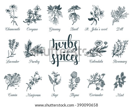 Herbs and spices set. Hand drawn officinale medicinal plants. Organic healing wild flowers. Vector botanical illustrations. Engraving floral sketches with hand lettering text