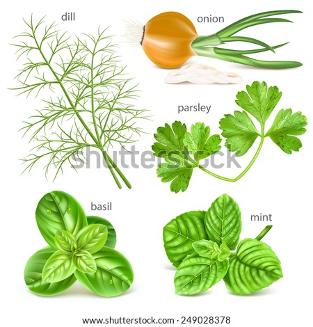Herbs collection. Vector illustration.  - stock vector