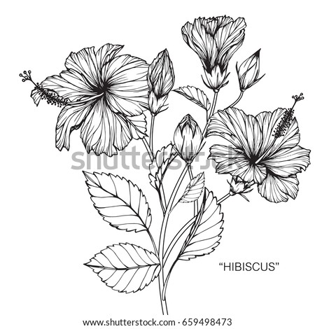 Hibiscus stock images royalty free images vectors shutterstock hibiscus flowers drawing and sketch with line art on white backgrounds ccuart Image collections
