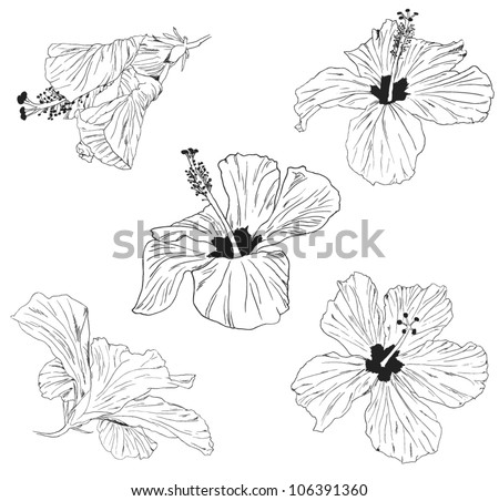 hibiscus vector illustration - stock vector