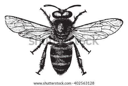 Honey bee, vintage engraved illustration. Industrial encyclopedia E.-O. Lami - 1875. - stock vector