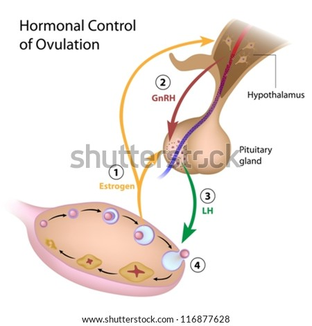 Hormonal control of ovulation - stock vector