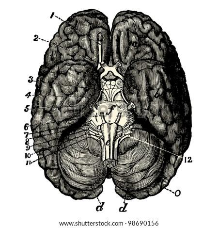 Humain Brain Vintage E...