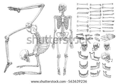 Human Anatomy Drawing Monochrome Set Skeletons Stock Vector