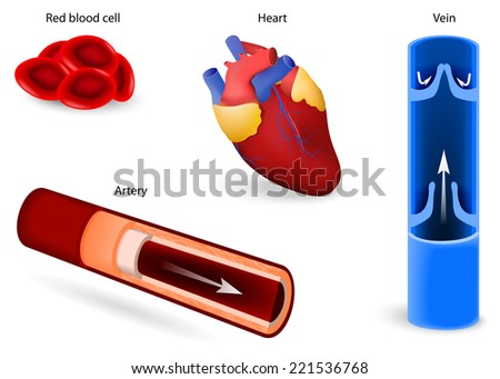 Human anatomy. Elements of the circulatory system: red blood cell or erythrocytes, heart, vein and artery. cardiovascular system. Set icons - stock vector