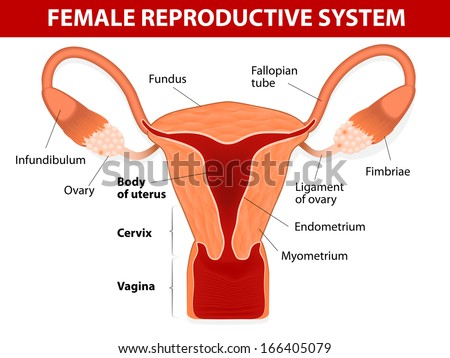 Human Anatomy Female Reproductive System Uterus Stock Vector ...