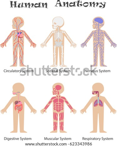 Human Anatomy Kids Circulatory Sceletal Nervous Stock Vector ...