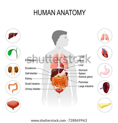 Human anatomy medical poster internal organs stock vector 728869963 human anatomy medical poster with internal organs on white background silhouette of a man ccuart Image collections