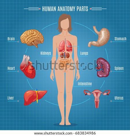 Human Anatomy Parts Infographic Concept Stock-Vektorgrafik 683834986 ...