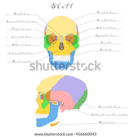Human Anatomy Skull Bones Skull Highlighted Stock Vector 456660043