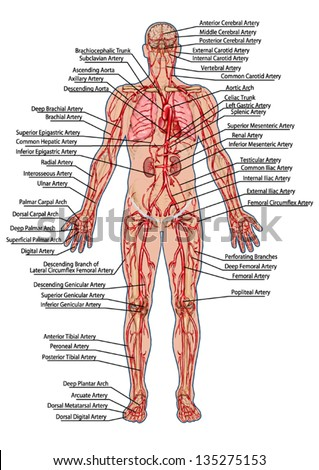Human Bloodstream Didactic Board Anatomy Blood Stock Photo (Photo ...