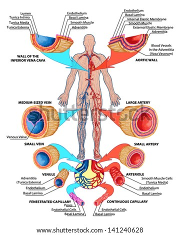 Human bloodstream - didactic board of anatomy of blood system of human circulation sanguine, cardiovascular, vascular and venous system, construction of the veins and arteries - stock vector