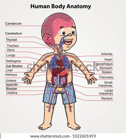 Human Body Anatomy Boy Organs System Stock Photo Photo Vector