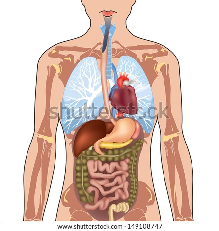 human internal organ stock images, royalty-free images & vectors, Human Body