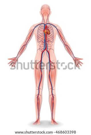 cardiovascular system stock images, royalty-free images & vectors, Human Body
