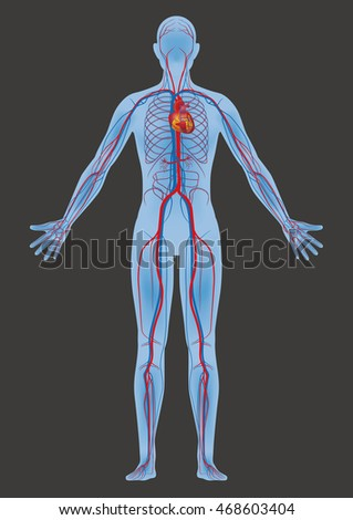 Human body circulatory system vector diagram stock vector human body and circulatory system vector diagram ccuart Image collections
