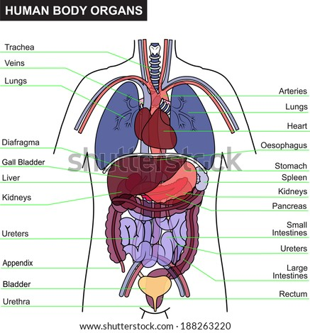 organs human body stock images, royalty-free images & vectors, Human Body