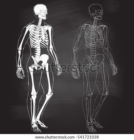 skeletal system stock images, royalty-free images & vectors, Skeleton