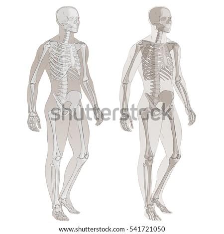 Human Body Parts Skeletal Man Anatomy Stock Vector 541721050