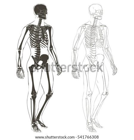 humerus arkivbilder, avgiftsfrie bilder og vektorer – shutterstock, Skeleton
