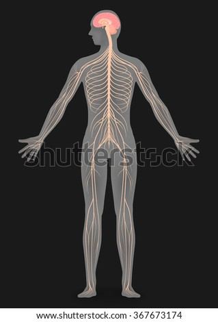 Human nervous system on display - photo#22
