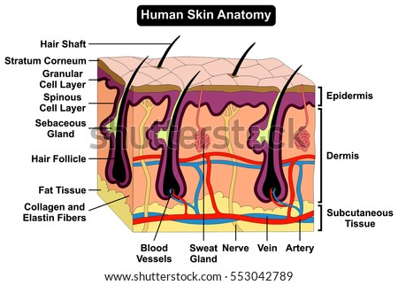 Human Body Skin Anatomy Diagram Infographic Stock Vector 553042789