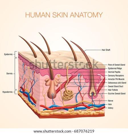 Skin Human Body Diagram - DIY Wiring Diagrams •