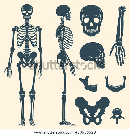 Human bones skeleton silhouette vector. Set of bones, illustration spine and skull bones - stock vector