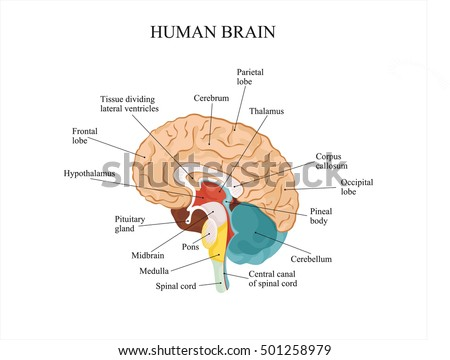 anatomy of the brain brain divisions Divisions of the skeletal system it protects the internal organs, including the brain, spinal cord anatomy and physiology.