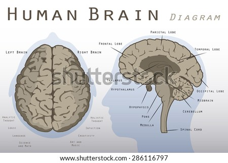 human brain diagram stock images, royalty-free images & vectors, Human Body