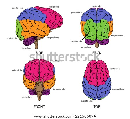 Human brain from all sides with sections in different colors and text labels - stock vector