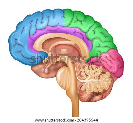 Human brain lobes, beautiful colorful illustration detailed anatomy. Sagittal view of the brain. Isolated on a white background. - stock vector