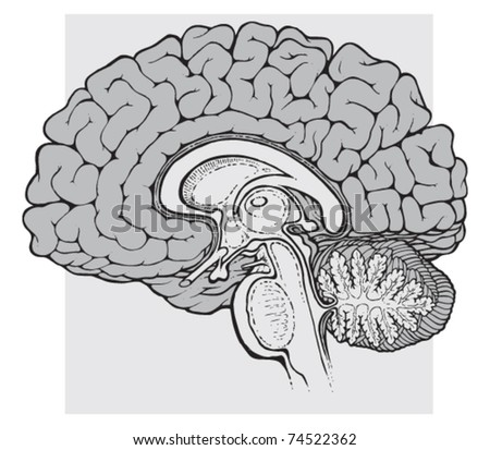 human brain sagittal view medical schematic illustration on white