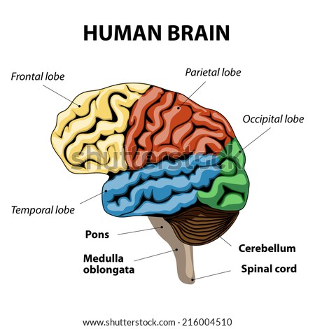 human brain sections. vector illustration - stock vector
