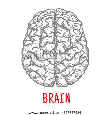 Human brain sketch with top view of both hemispheres of cerebral cortex. Medicine, education or brainstorm themes - stock vector