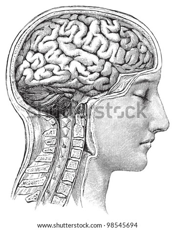 Human brain / vintage illustrations from Die Frau als Hausarztin 1911 - stock vector