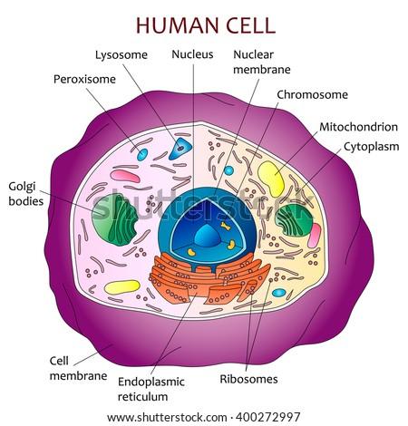 stock vector human cell diagram 400272997