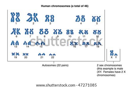 Human chromosomes -- labeled - stock vector