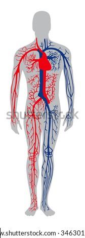 human circulatory system - stock vector