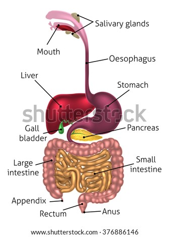 Human digestive system digestive tract alimentary stock vector human digestive system digestive tract or alimentary canal including text labels ccuart Images